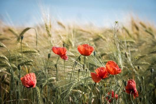 agriculture barley bloom blossom